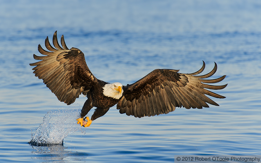 Bald_Eagle_strike_Robert_OToole_Photography_2012
