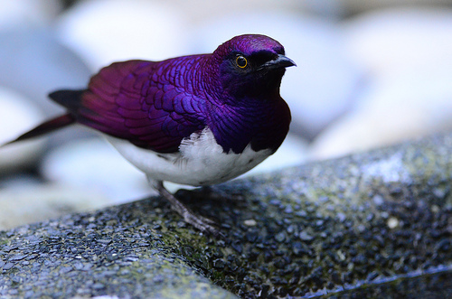 violet starling