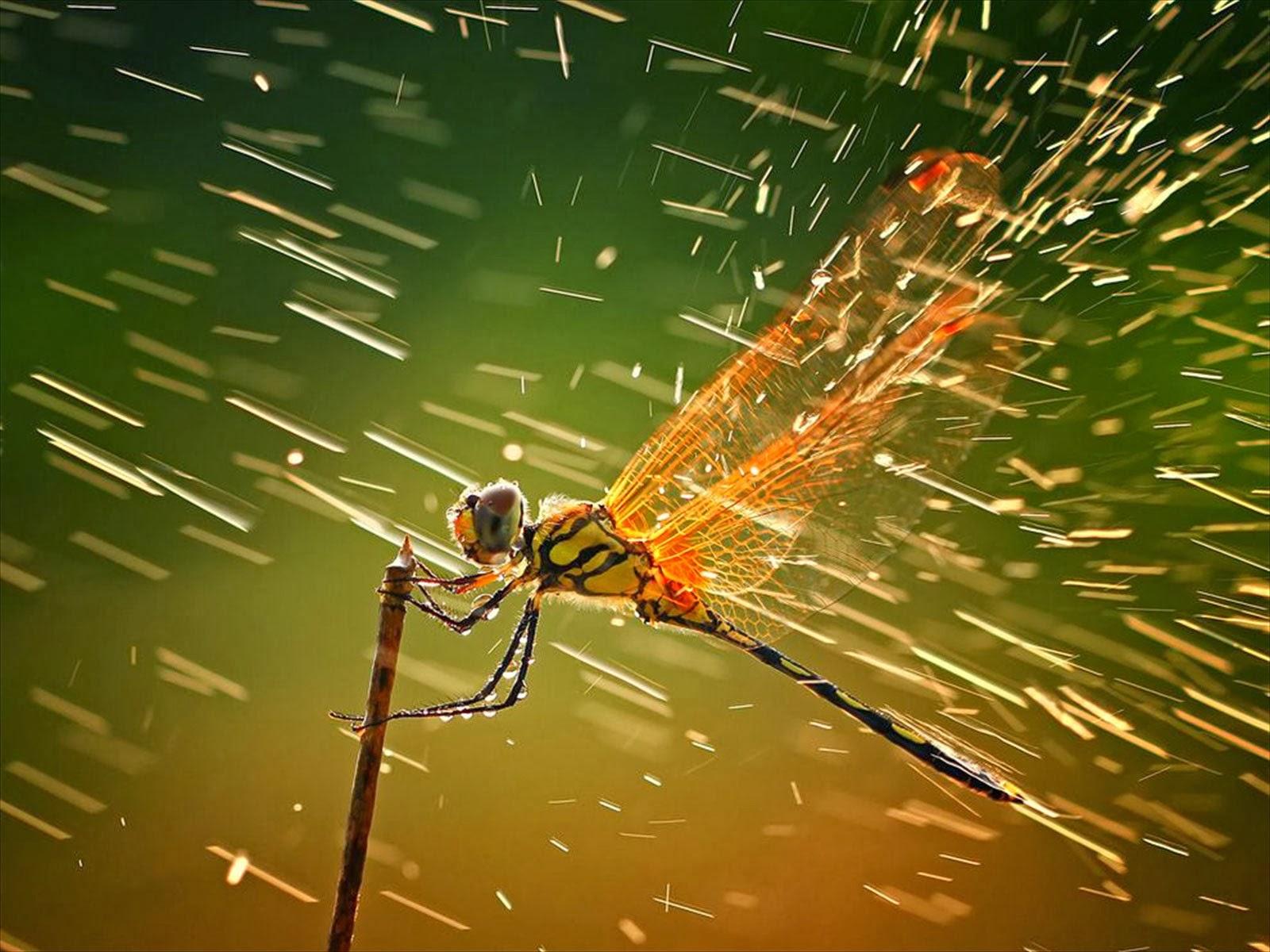 dragonfly-HD-rain