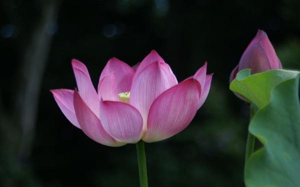 lotus3Hero
