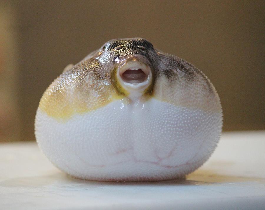 blowfish-cynthia-snyder