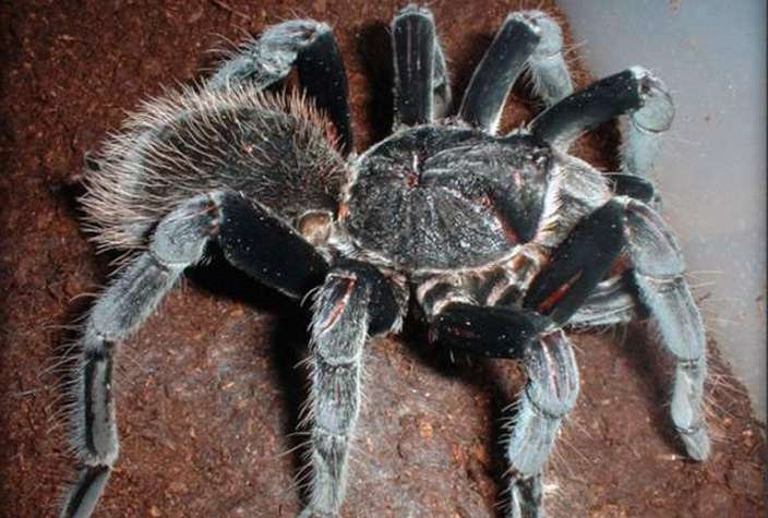 Colombian-Giant-Black-Tarantula