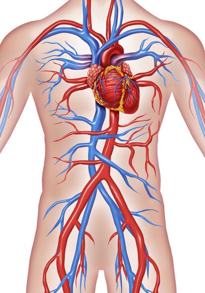cardiotorso