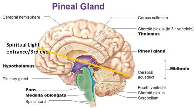 pineal-gland-brain.jpg