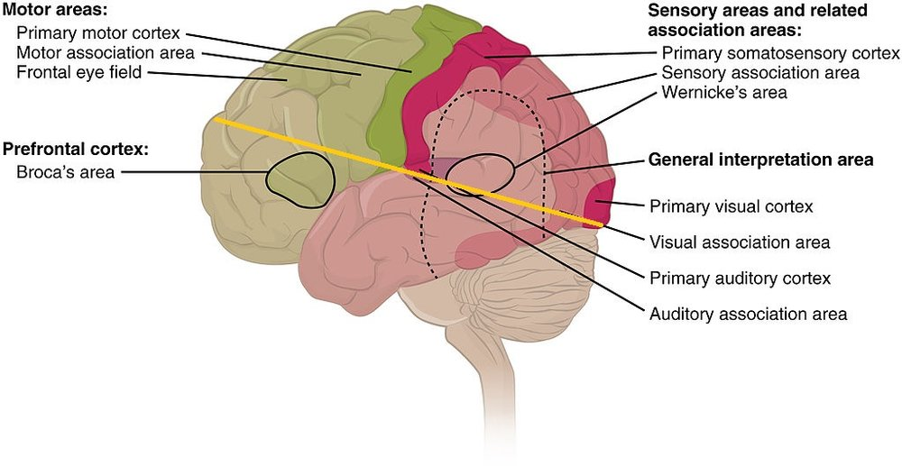 1604_Types_of_Cortical_Areas-02.jpg