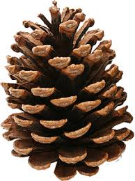 pine cone 2.jpg