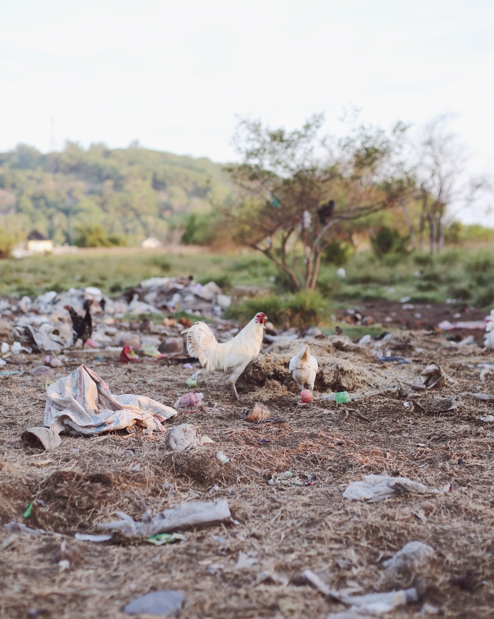 Chickens - Hannah Gabrielle More Travel Photography