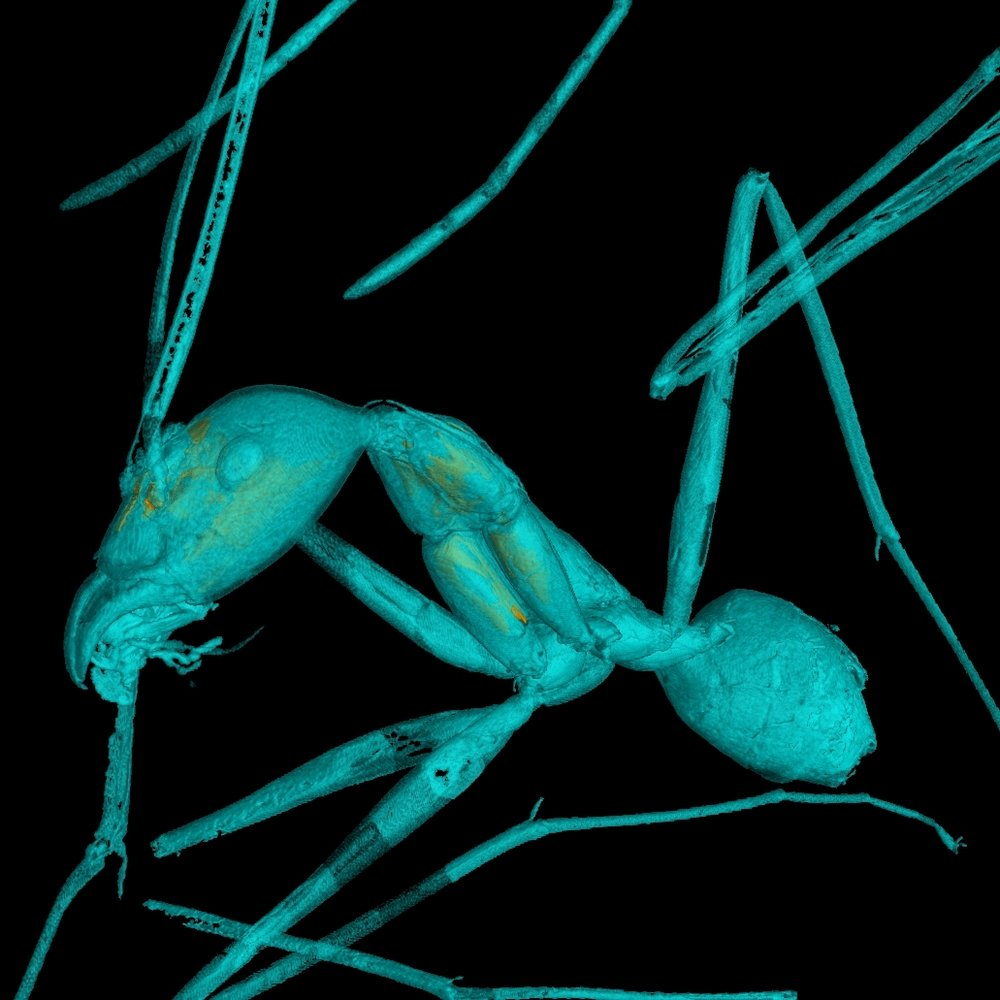 CT-scan derived 3D reconstruction of Leptomyrmex neotropicus from 20 million year old Dominican amber.