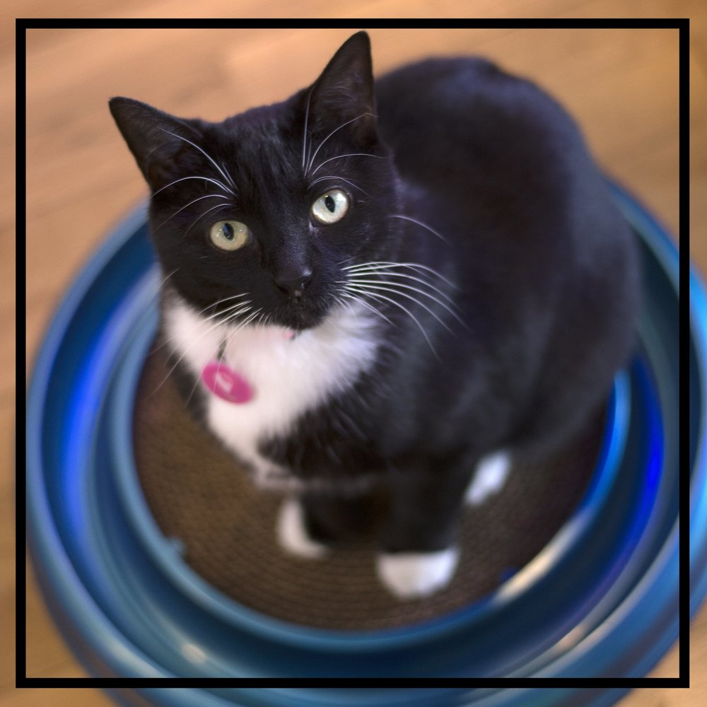 Hi, my name is Joey... - I'm a purrmanent resident at the Crooked Tail Cat Cafe. I was rescued off the streets and I keep all the boys and girls under control at the Crooked Tail. If you're lucky, I may decide that you are worthy enough to have me sit in your lapSTATUS: At Cafe