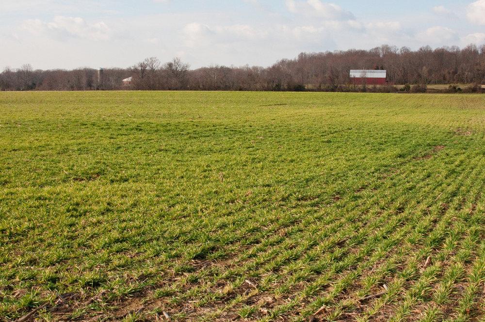 Cover crops on a farm field at Merkle Wildlife Sanctuary (via Chesapeake Bay Program)