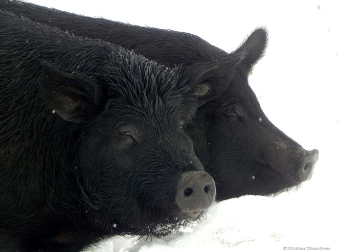 These pigs want YOUR food waste! Picture credit: Firefly Farms.