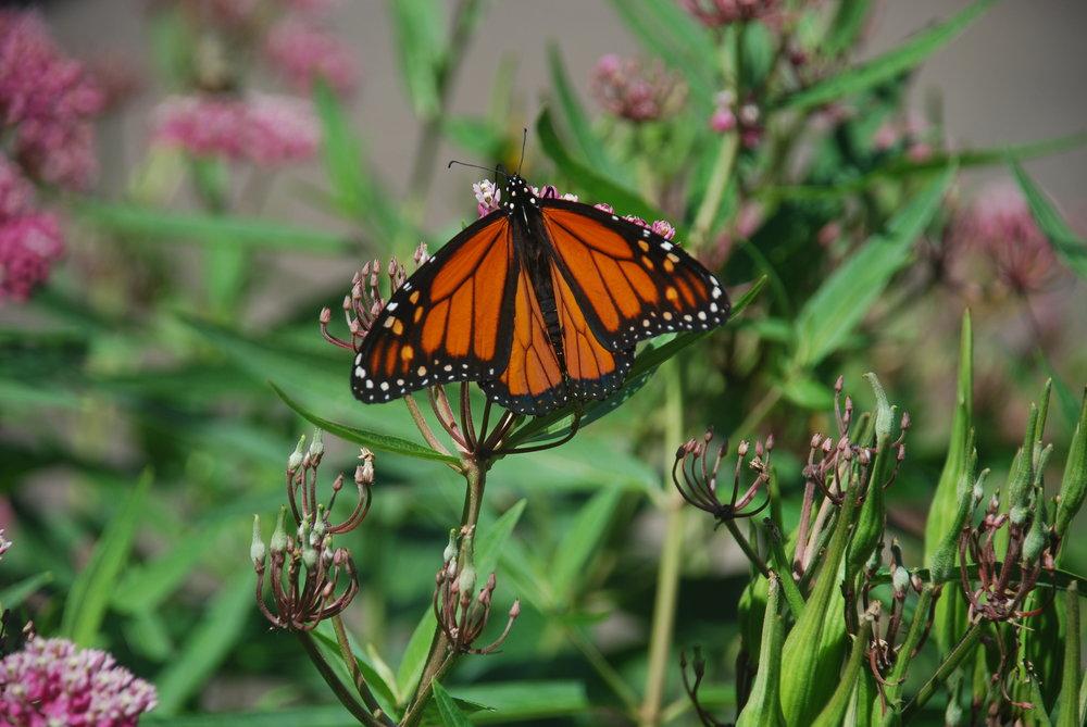 Monarch1 004.JPG