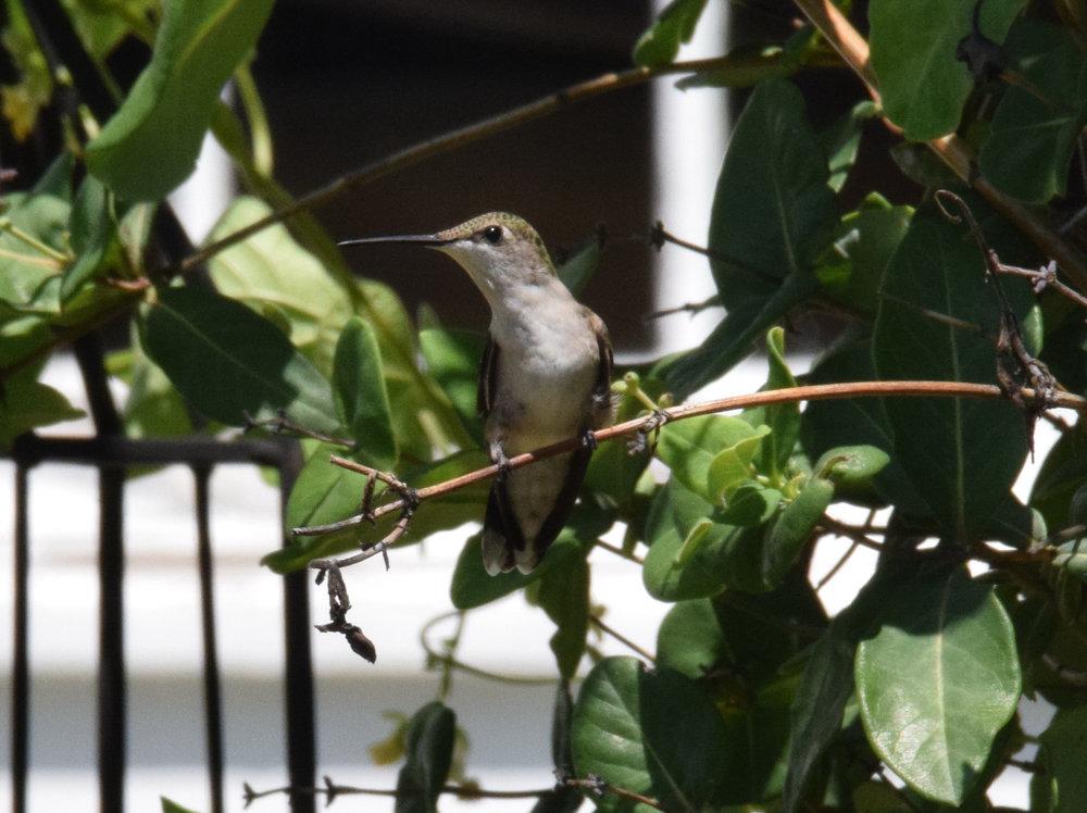 hummingbird 042.JPG