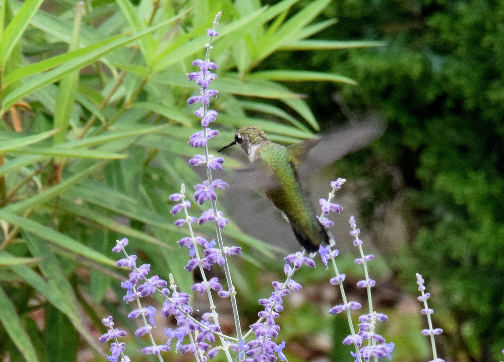 Hummingbird not quite sure about our Russian sage -