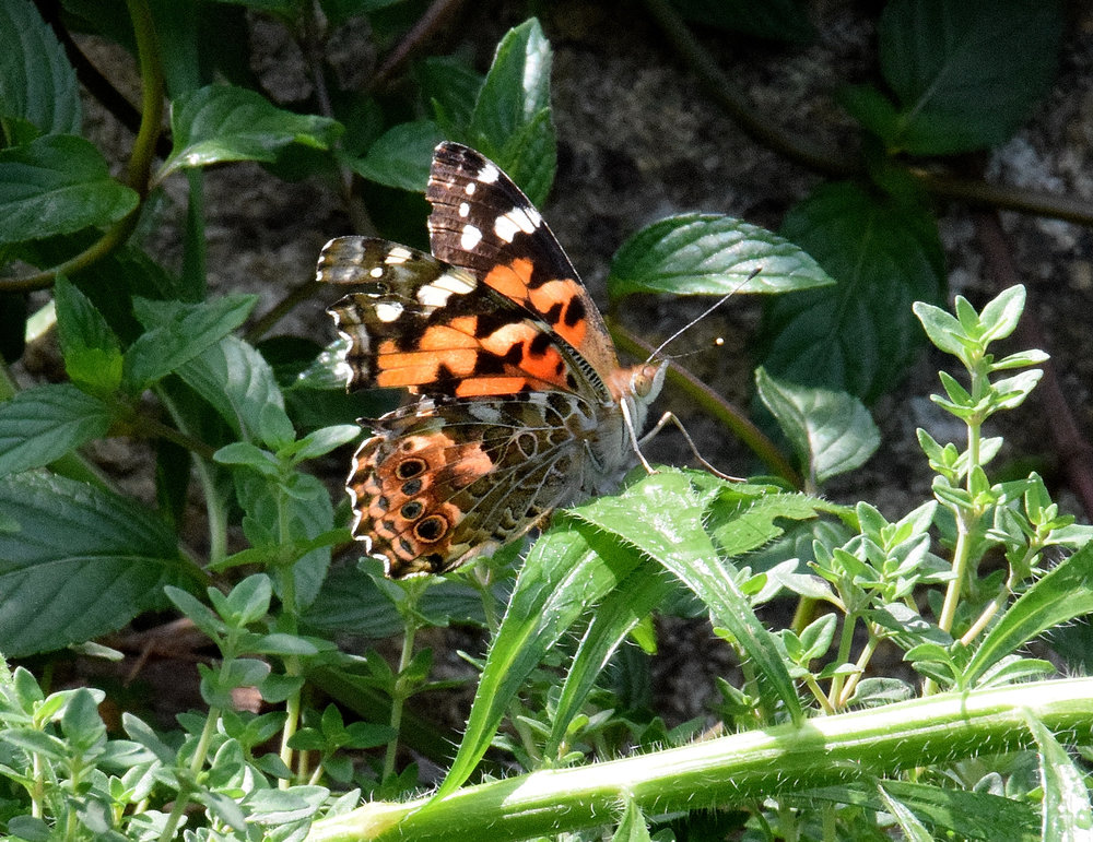 Painted-Lady Butterfly basks in our Pollinator Garden.  The butterfly is a multi-cultural symbol for transformation and joy.  Its' whimsical dance reflects the need for movement from where we are to our next phase of being.