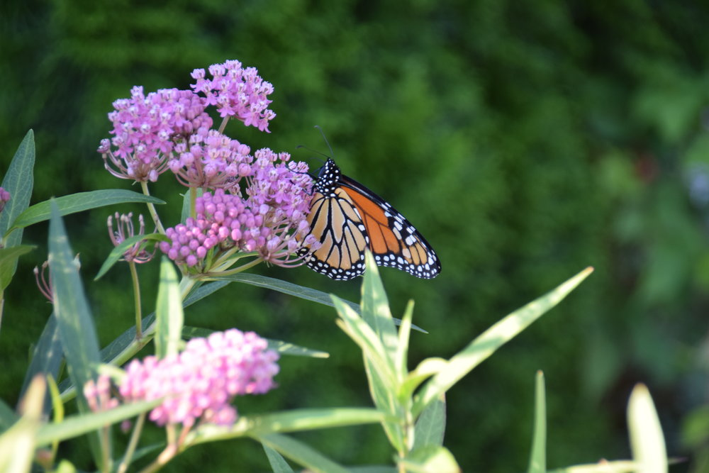 Monarch butterfly visits our pollinator garden on its long journey to Mexico
