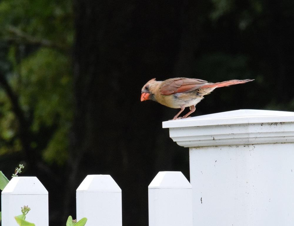 Cardinal 029.JPG