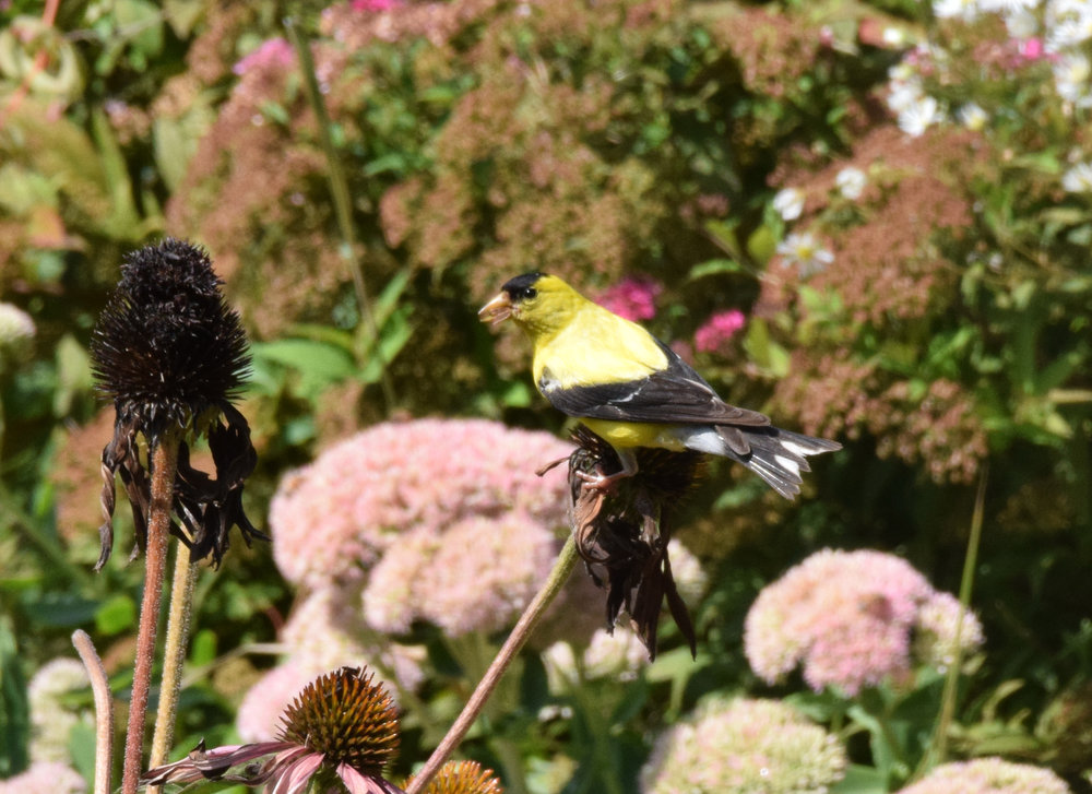 Goldfinch snacking on Echinacea