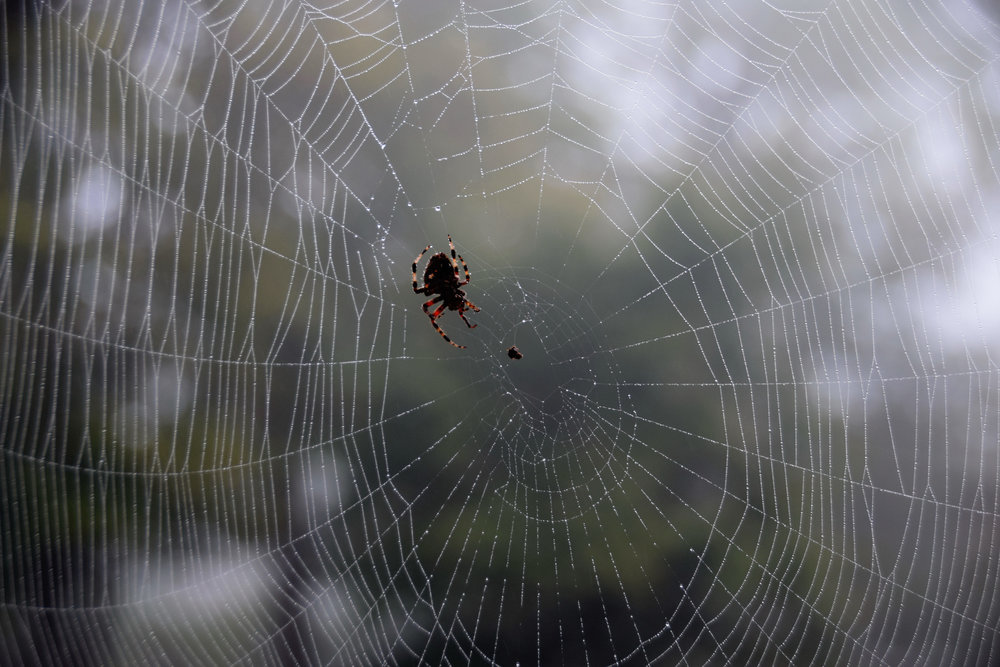 First sign of Fall -  Spotted Orb Weavers spinning their webs!