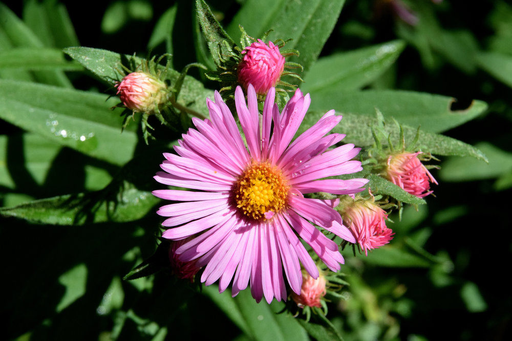 Michaelmas Daisies ( New England Asters)