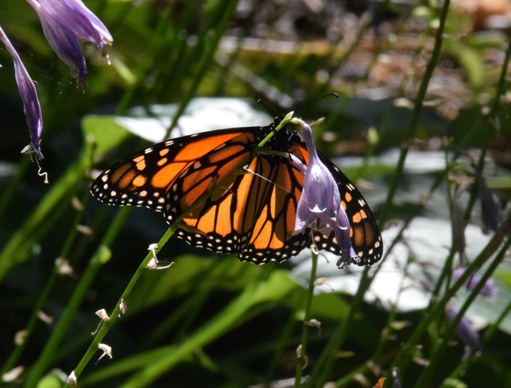 Late season Monarch