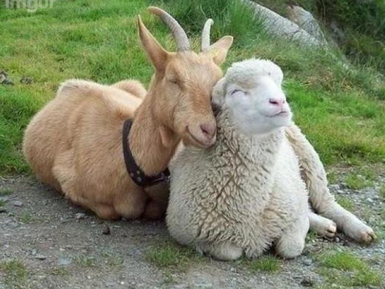 sheepgoats.png