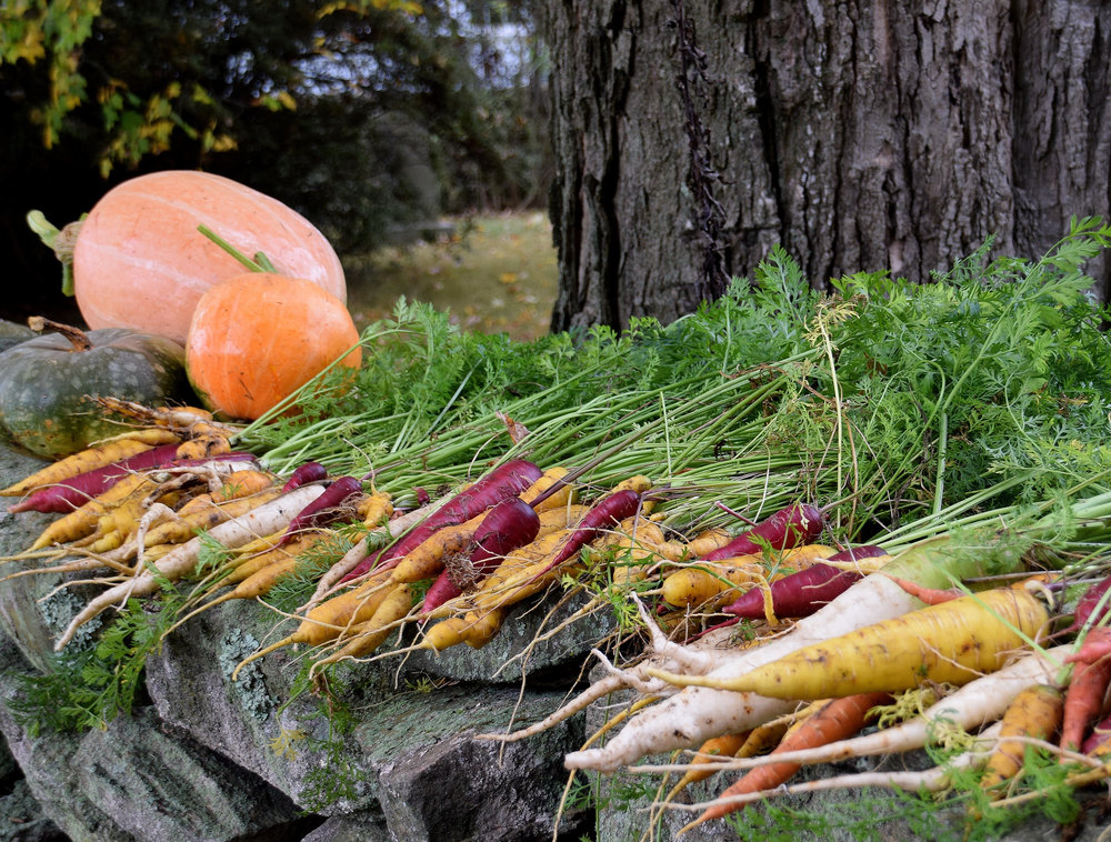 Last year's Rainbow Carrot harvest