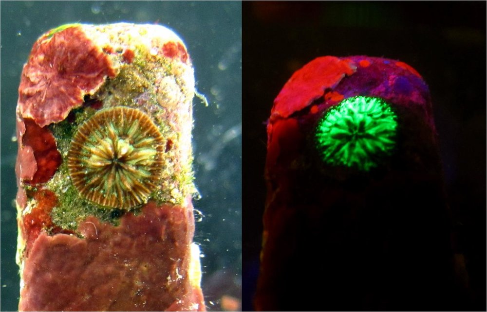 A settled  Agaricia humilis  in visible light (left) and fluorescence (right). The coral is green due to green fluorescent protein contained in its tissues.