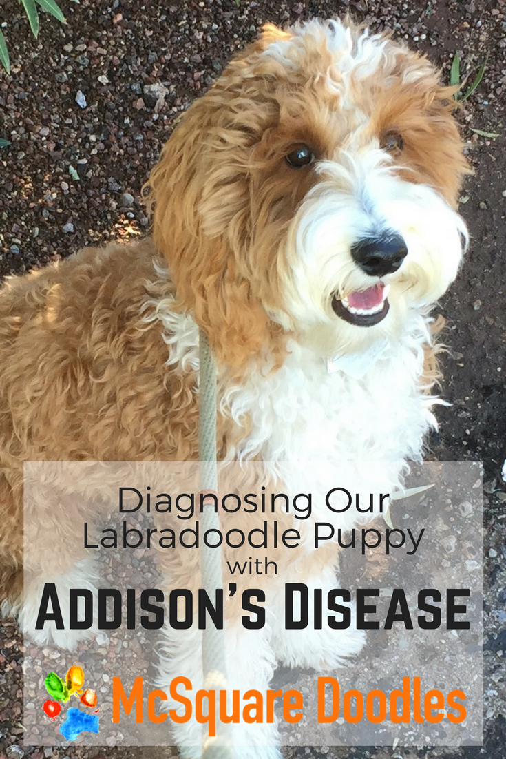 Diagnosing our Labradoodle Puppy with atypical Addison's Disease.