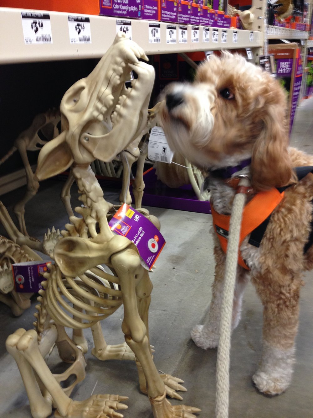 Bernie was fascinated by this skeleton wolf. I referred to this creature as the haunted hound. Even though a few kids kept setting off the motion sensor on this skeleton hound, Bernie never barked.