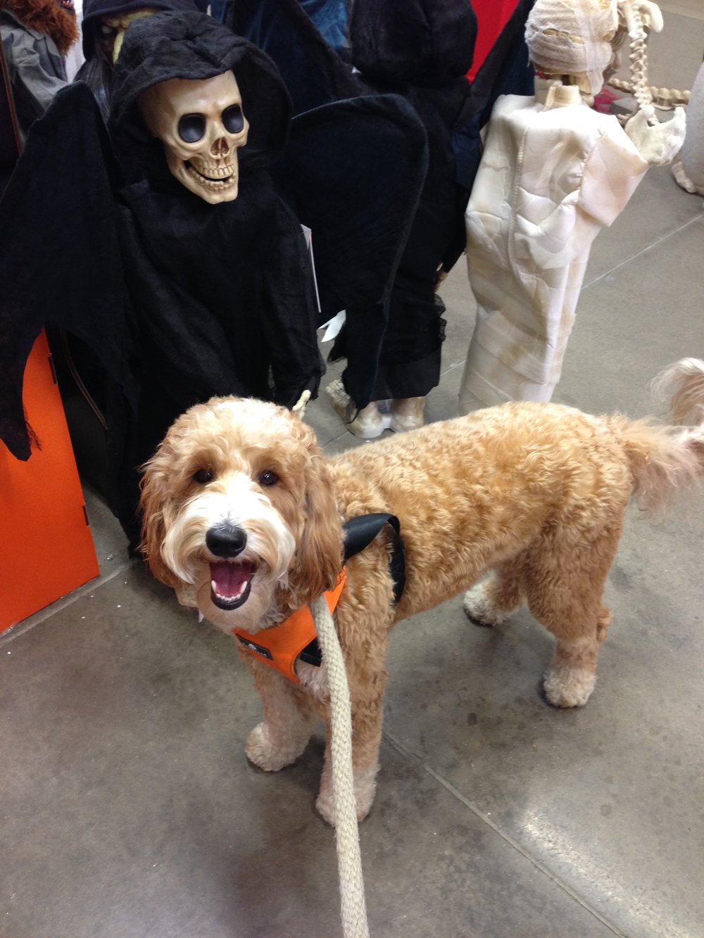Bernie loved sniffing the mummies, ghosts, ghouls, witches, and pumpkins on display at Home Depot.
