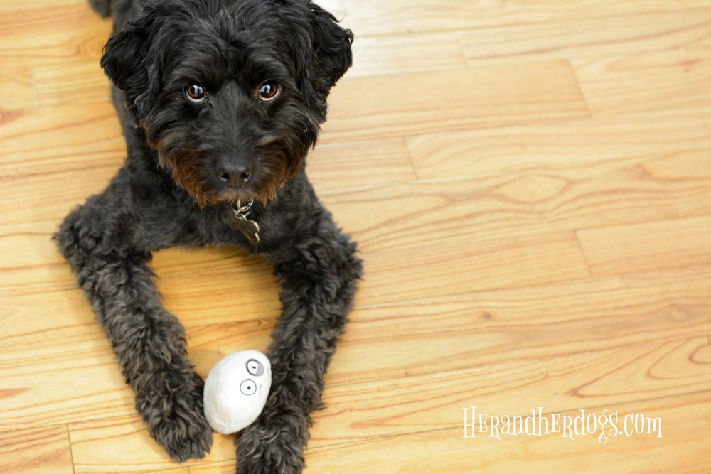 The newest member of Sadie's pack loves these little ping pong squeakers.