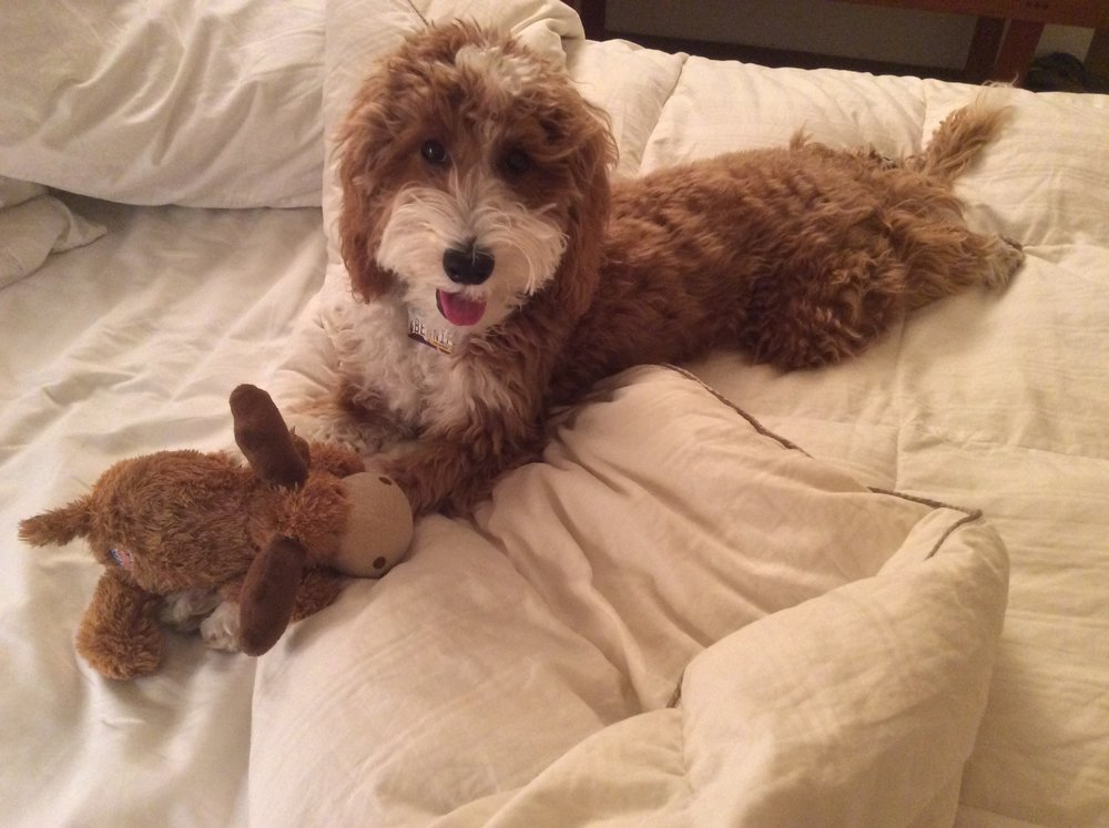 A Doodle and his Moose!