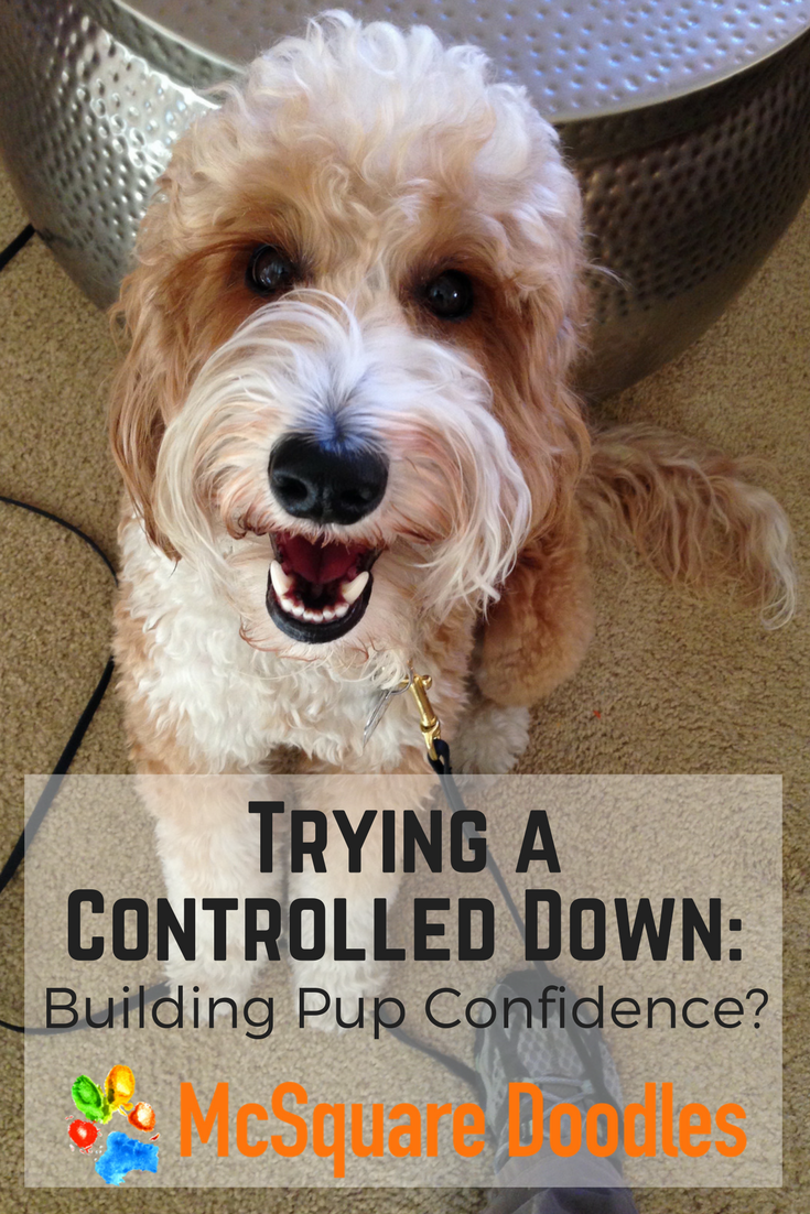 Trying a Controlled Down: Building Pup Confidence?