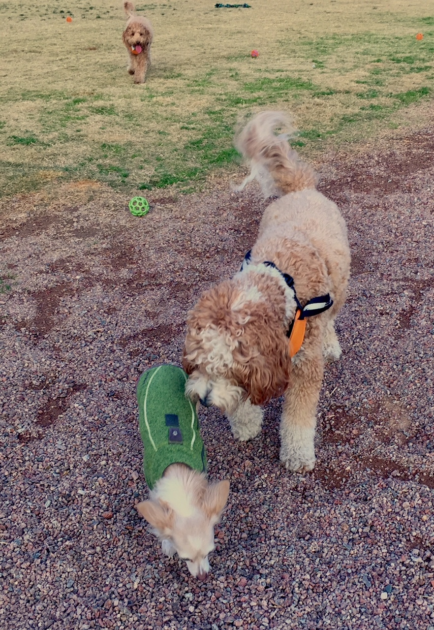 Bernie greets a new dog at the dog park while Lizzie rushes over to check out the new kid.