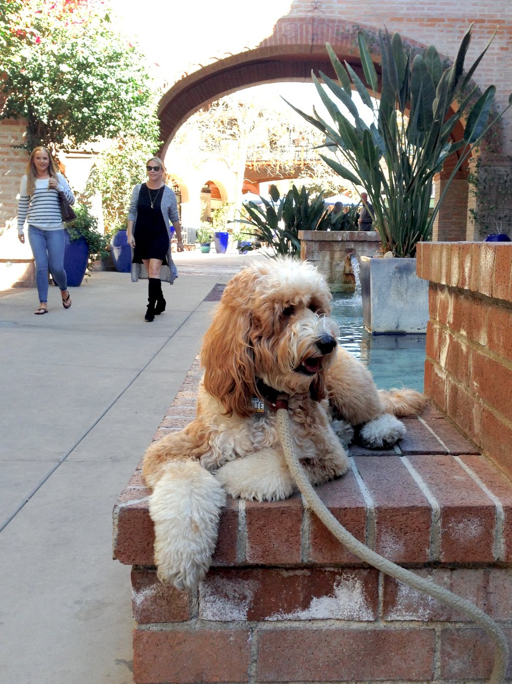 Bernie McSquare ignores friendly shoppers at La Encantada in Tucson, Arizona, while we were practicing a down-stay for our Canine Good Citizen class.