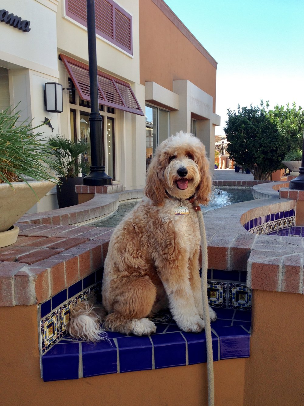 Overtime we visit La Encantada, Bernie McSquare loves to visit this fountain. He jumps up on the tiled ledges and benches just to watch the water spurt. Here he's practicing his sit-stay.