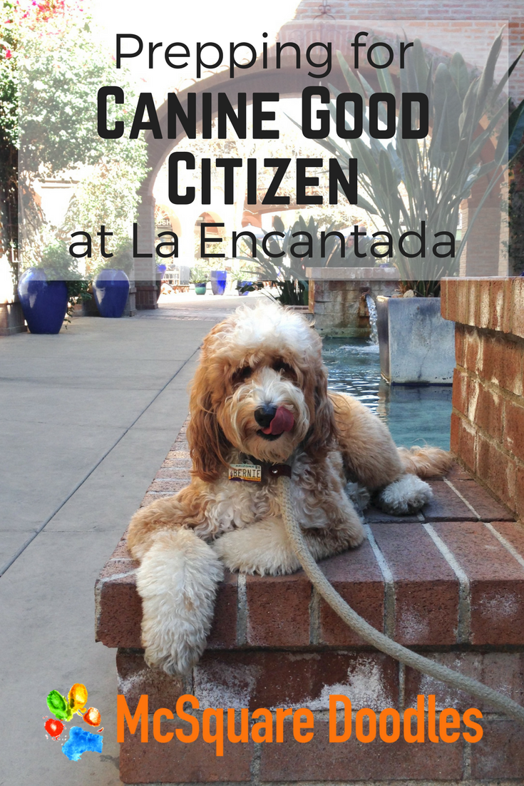 Bernie McSquare takes a moment to savor his treats with his tongue out as he prepares for his Canine Good Citizen Test at La Encantada Shopping Center in Tucson, AZ.