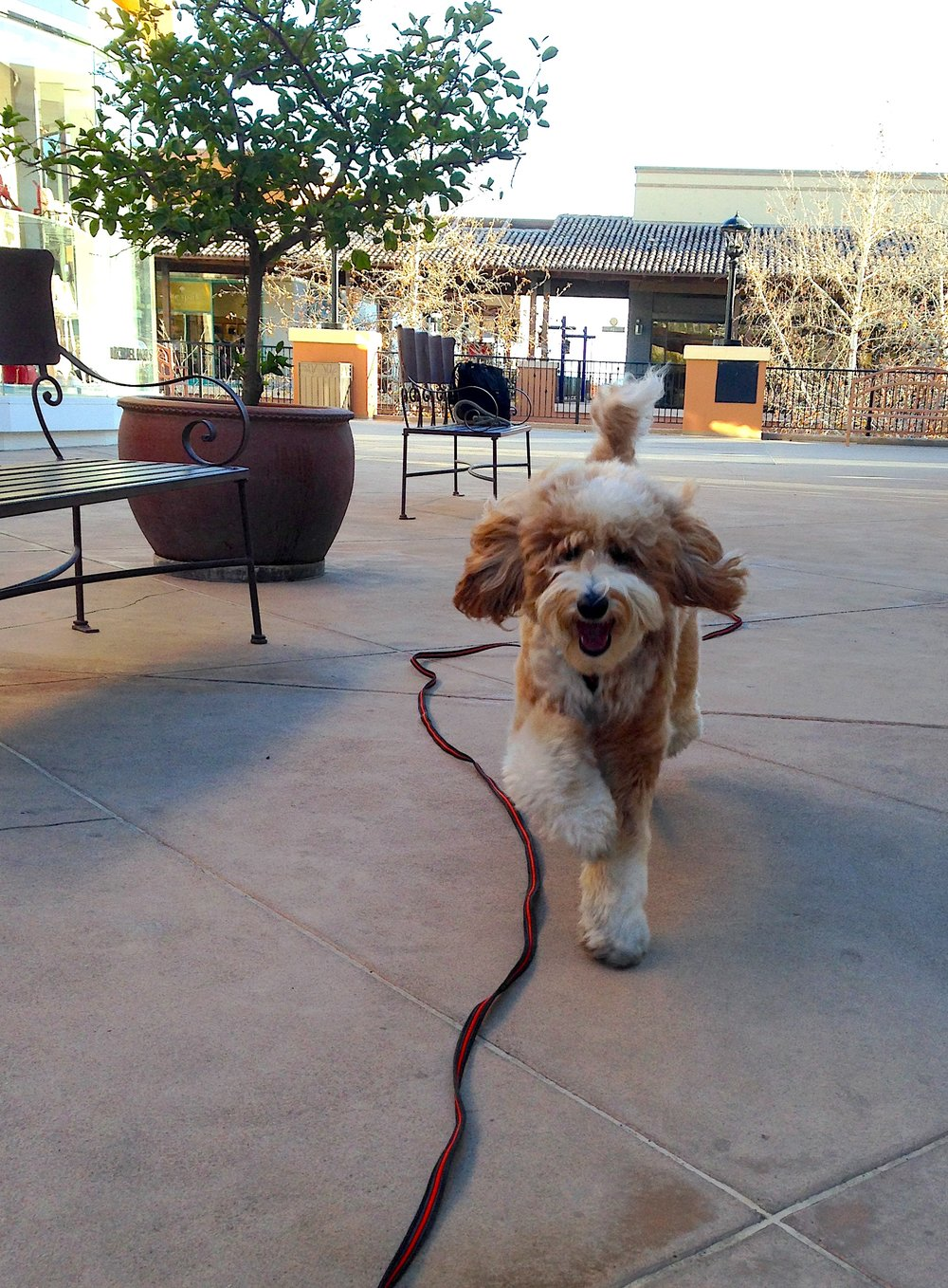 Bernie McSquare runs at me, ears flapping in the wind, as he demonstrates his recall ability at La Encantada Shopping Center in Tucson, Arizona.