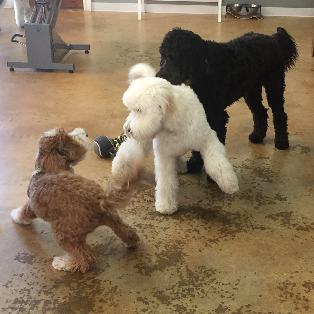 Bernie loves playing with other dogs, even if they are larger than he is like these two Doodles at Poodles and Pals Holistic Pet Spaw in Tucson, Arizona.