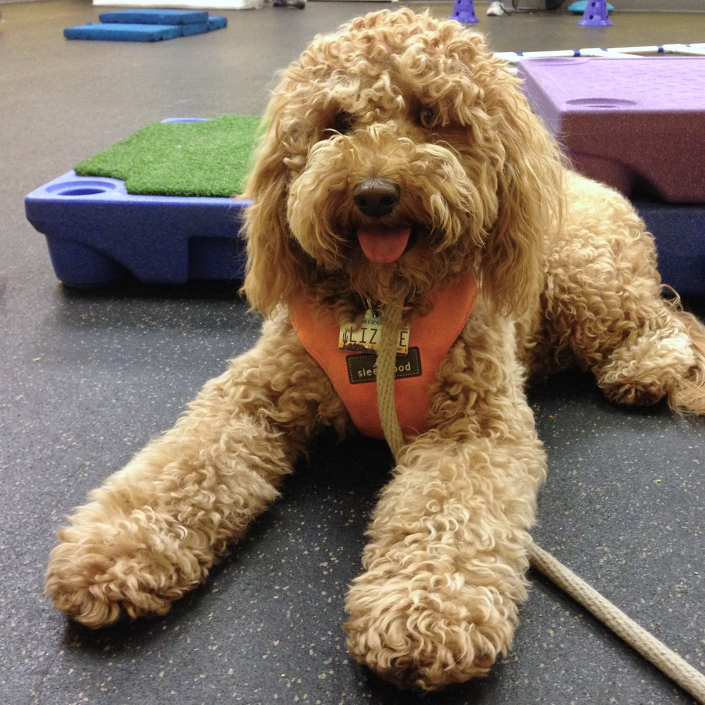 Lizzie practices her down-stay during Super Puppy Class at A Loyal Companion in Tucson, Arizona.