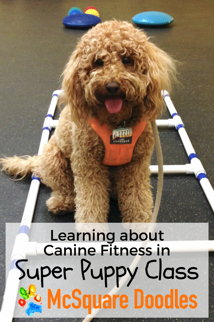 Learning about Canine Fitness in Super Puppy Class at A Loyal Canine in Tucson, Arizona.