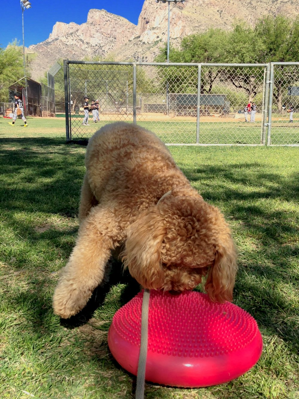Lizzie McSquare focuses on sniffing some new fitness equipment and ignoring those kids playing baseball behind her during Dog Obedience Park Class.