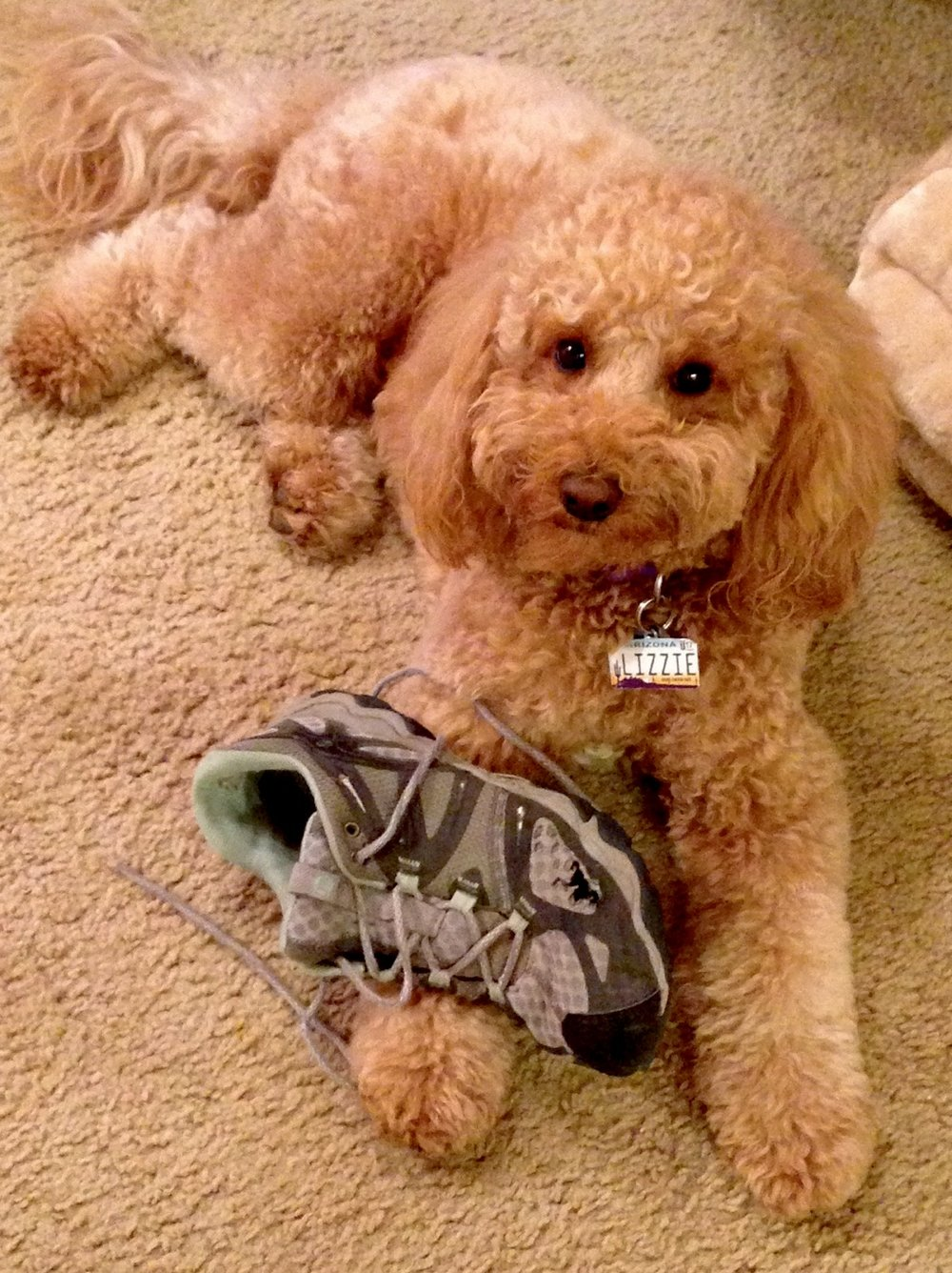 Labradoodle Lizzie's ongoing love affair with the sneakers I wear when we go for walks.