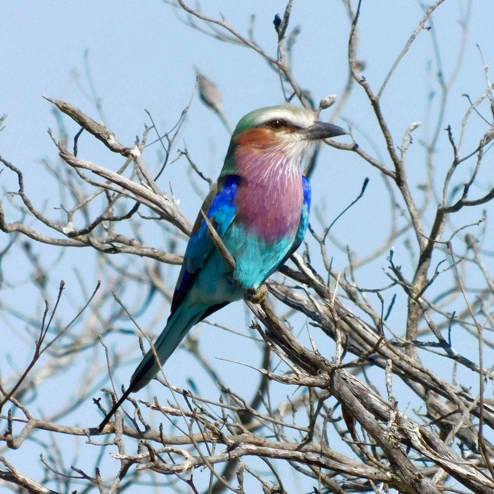 A lilac-breasted roller in South Africa.