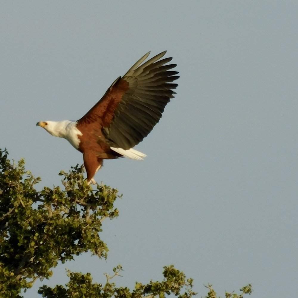 An African fish eagle in Botswana