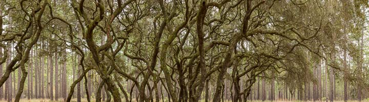 Oak Hammock - Ocala National Forest