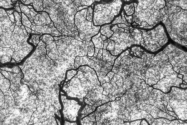 Oak Canopy 148