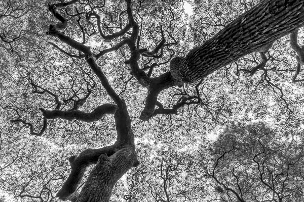 Oak Canopy 157