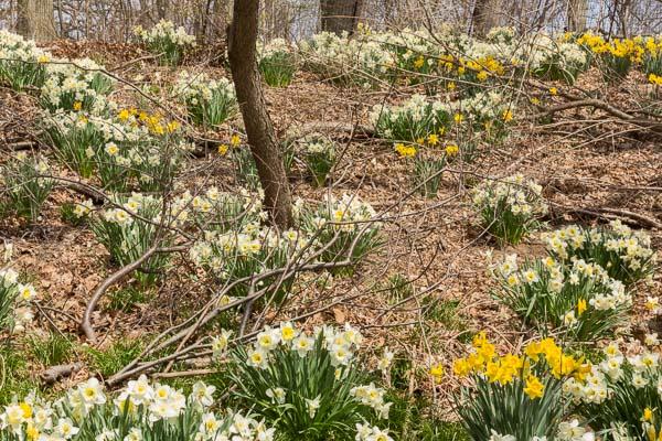 Daffodils - Prospect Park, Brooklyn
